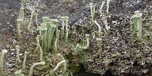 Looking at Lichens at Lesnes Abbey Woods