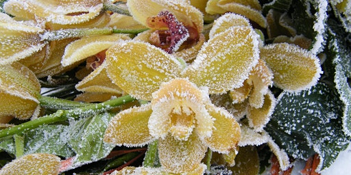 Orchids Under the Snow Moon