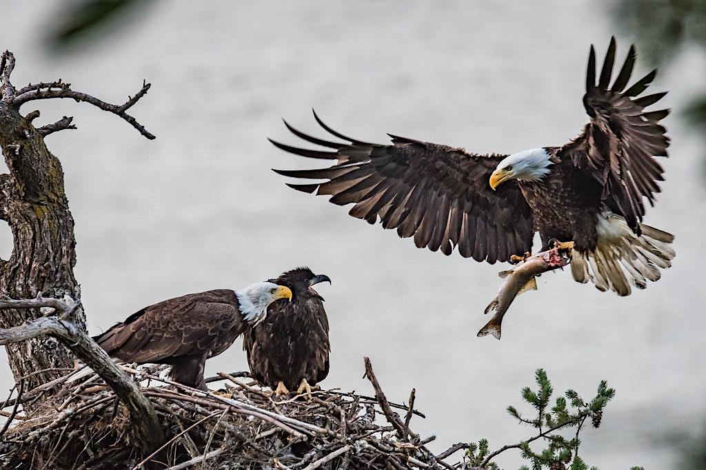 Bald Eagle Viewing & Wine Tasting, WA