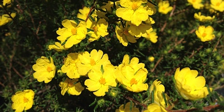 Conservation of a Critically Endangered Plant (Hibbertia Spananth) tickets