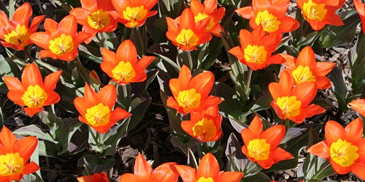 Tulips & Other Bulbs