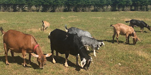 Goat Pedicure Party - Learn How To Trim Goat Hooves