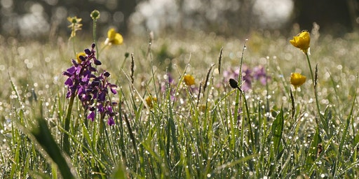 Orchid walk - Sutton Lane Meadows