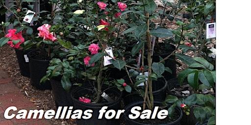 Camellias for Sale at Palafox Market