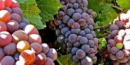 Pinot Blanc / Bianco & Pinot Gris / Grigio