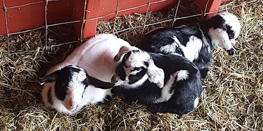 Goodnight Goats