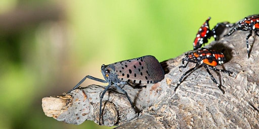 NOT IN OUR BACKYARD: How to Fight Spotted Lanternfly