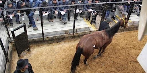 Standardbred Horse Sale