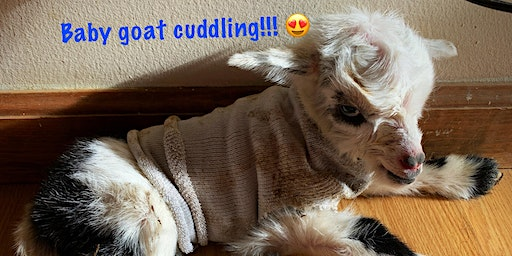 Baby Goat Cuddle Hour!