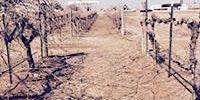 Vineyard Pruning 101/Start your own Vineyard