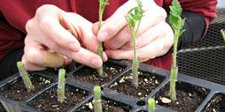 Tomato Grafting Workshop ~ 2020-AM tickets