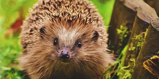 Encouraging Hedgehogs Into Your Garden