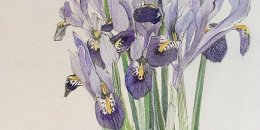 Iris Plant study workshop in pencil and watercolour – with Jill Dow