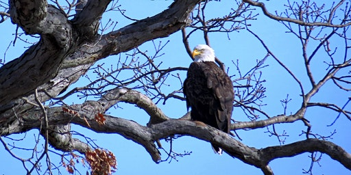 Winter Wonderland Bald Eagles! Westchester: Georges Island State Park Photography & Nature Walk