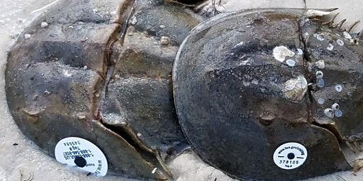 Citizen Science - Horseshoe Crab Watch - Spring 2020 Training