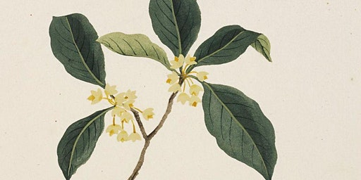 Four Hour Accords: Osmanthus
