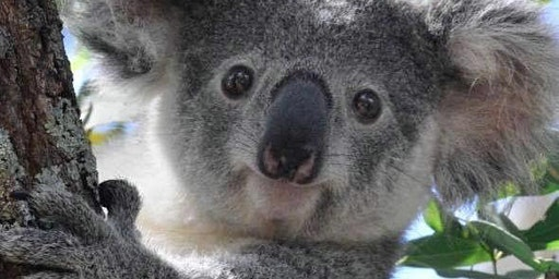 Koala Fundraiser