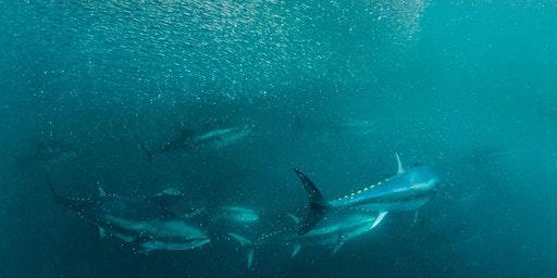 Atlantic bluefin tuna: return of the giant tunny?