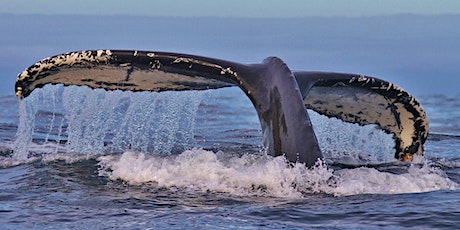 Whale Tales Cork: Encounters with humpback whales tickets