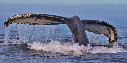 Whale Tales Cork: Encounters with humpback whales