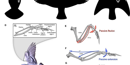 How Birds Shape the Air: The Structure and Function of Bird Wings