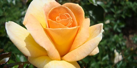 Rose Pruning and Planting