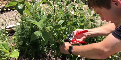 Summer Pruning Fruit Trees for Health & Size Control - Ogden, UT