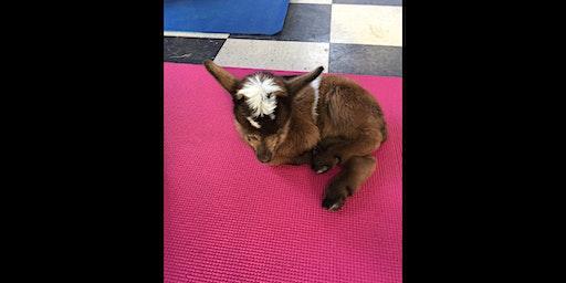 Goat Yoga & Baby Goat Cuddling