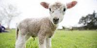 Lamb Days