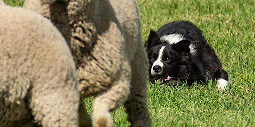2020 Meeker Classic Sheepdog Championship Trials