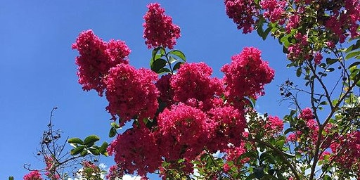 Caring for Crapemyrtles