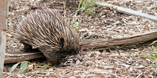 Nature Talks in the Library: Echidnas