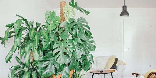 Monstera Pole Dancing