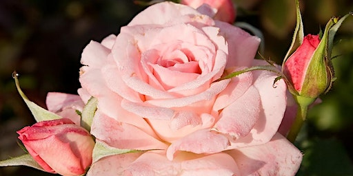 Garden Talks: Rose Rosette: Flower Killer
