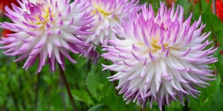 Dahlias 101: Planning, Preparing and Planting Your Dahlia Garden tickets