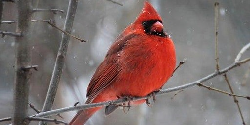 Winter Birding: Time to get ready for the Great Backyard Bird Count