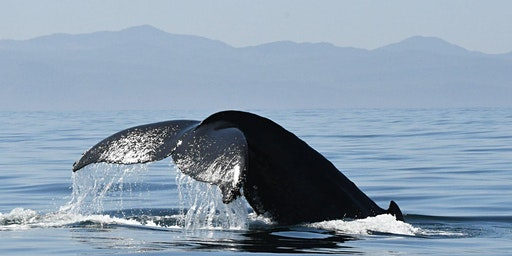 Humpback Whales of the Salish Sea: Past, Present, and Future