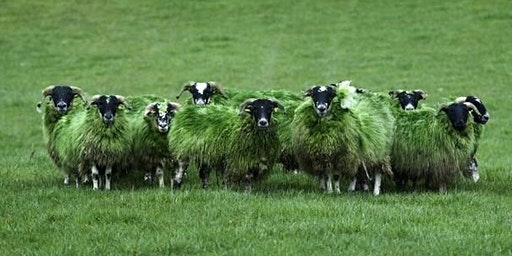 Green Sheep at St Mary in the Marsh