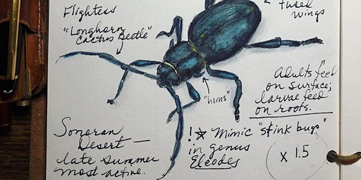 Session 3, BEAUTIFUL BEETLES - Drawing Skills for Field Notebooks (Tumamoc Art & Science Course)