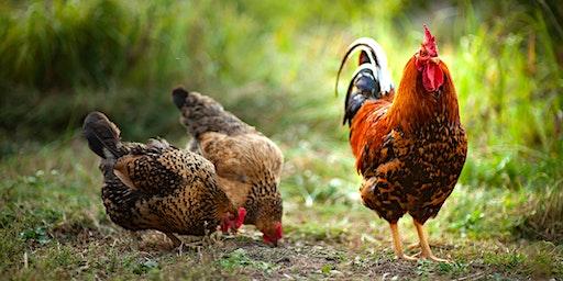 Raising Backyard Poultry