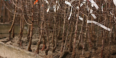 Bare-root Fruit Trees: Selection and Planting