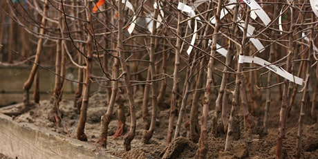 Bare-root Fruit Trees: Selection and Planting tickets