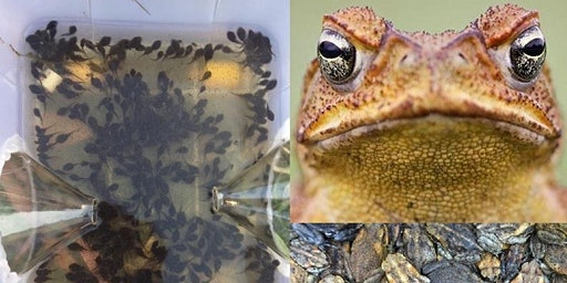 Cane Toad Challenge Workshop