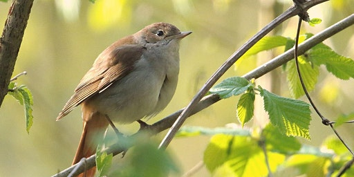 Nightingales at dusk