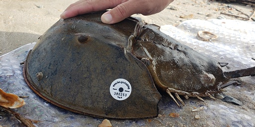 Horseshoe Crab Watch Volunteer Training Workshop 2020