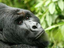 BUDGET GORILLA TREKKING IN UGANDA AND RWANDA
