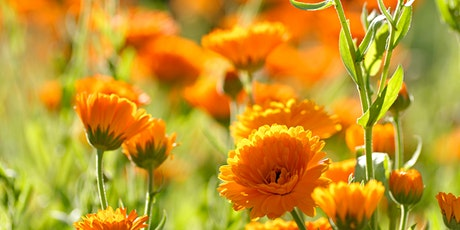 Plant encounters: Calendula - 3rd July 2020 tickets