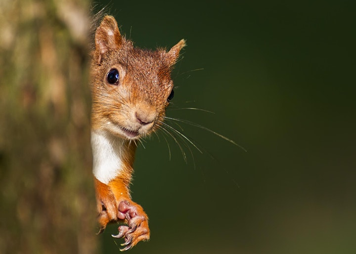Talk & Walk : Haweswater's Red Squirrels image
