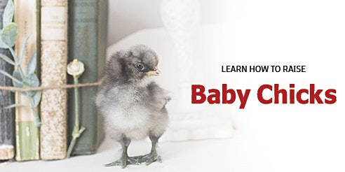 Learn how to raise Baby Chicks