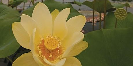 American Lotus Public Paddle - Sultana Education Foundation